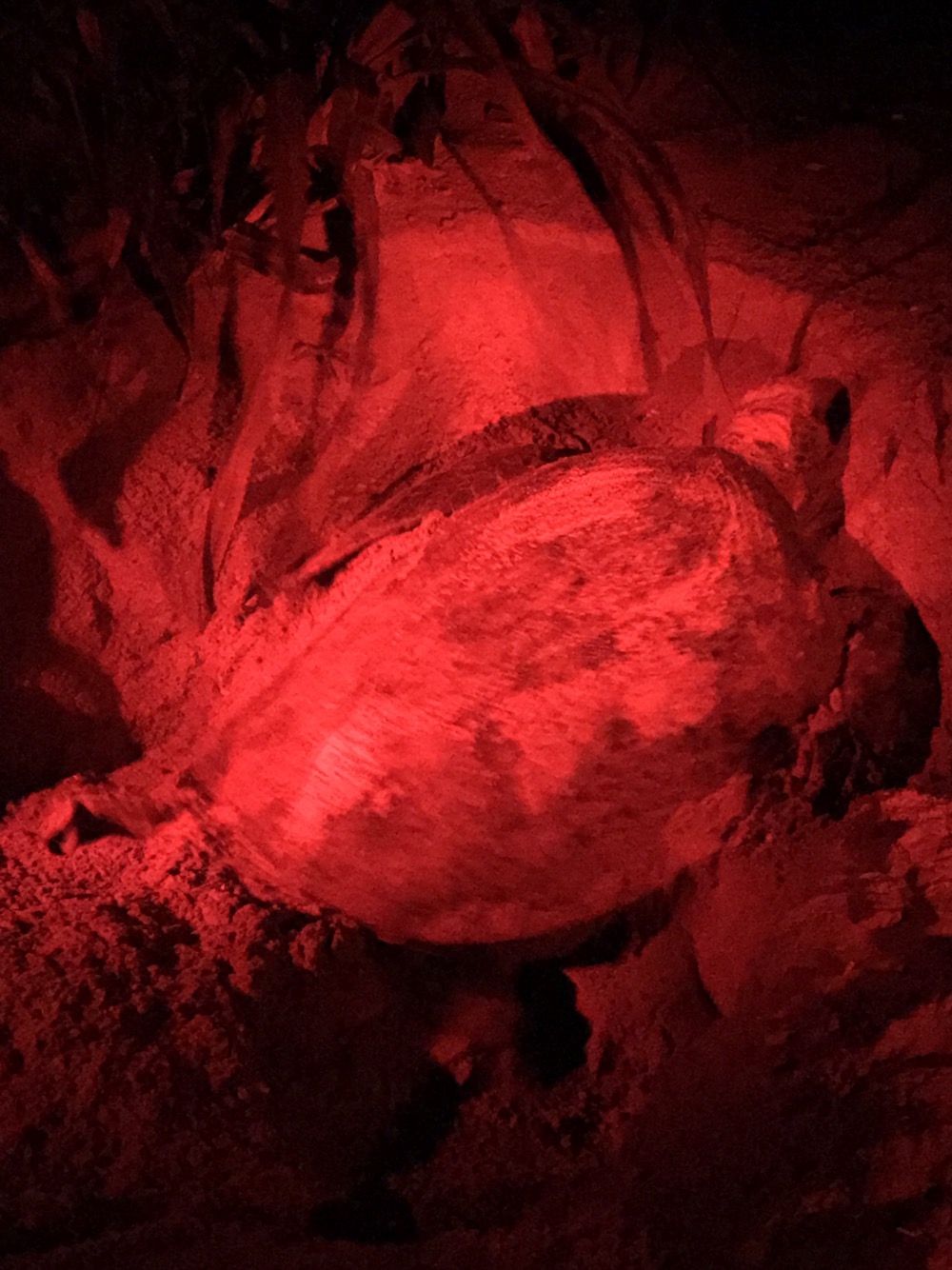 Rekawa Green Turtles Laying Eggs